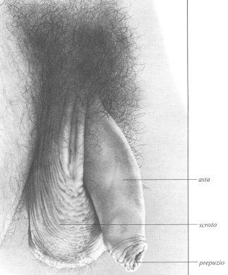Pene gonfio dopo masturbazione