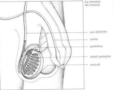 stimolazione dei testicoli e del pene nessuna erezione ma eiaculazione